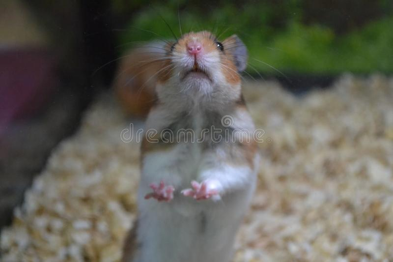 Hamster in glass pet shop royalty free stock photos
