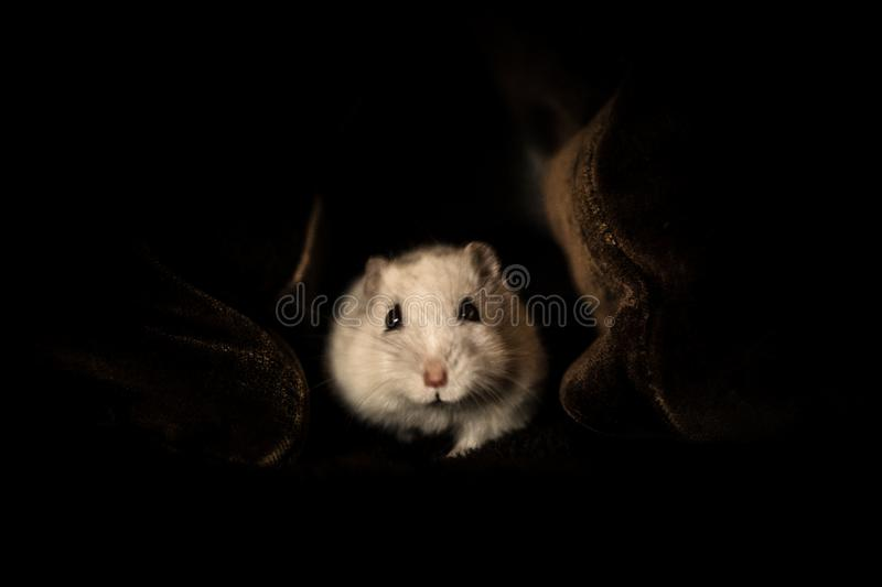 Hamster goes out of the cave stock photo