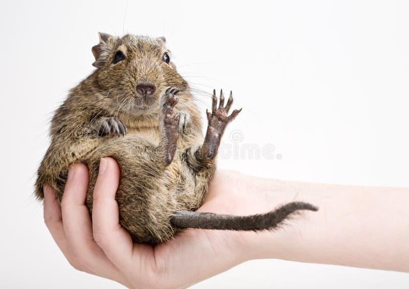 Hamster gordo foto de stock