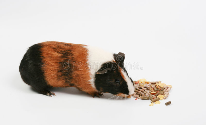 Hamster grande fotografia de stock