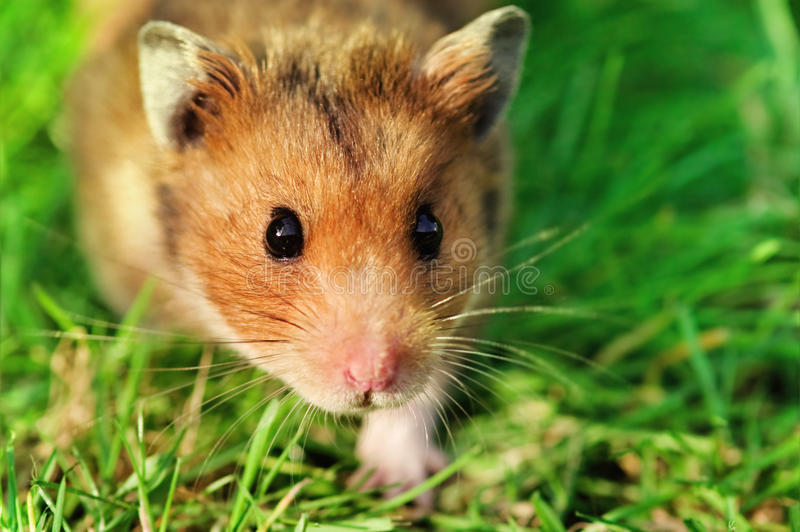 Hamster on the grass. Curious male syrian hamster walking outdoors on the grass, looking straight at the camera stock photography