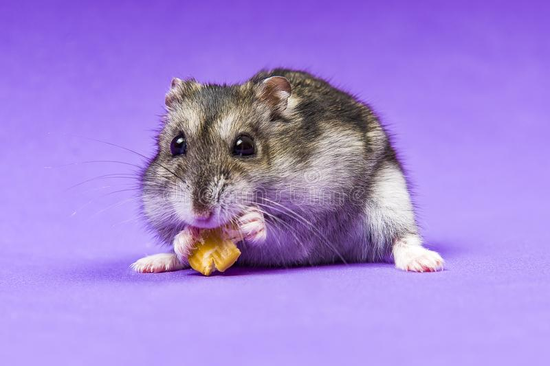 Hamster gray Siberian on a Lilac Blue background. eats stock photography