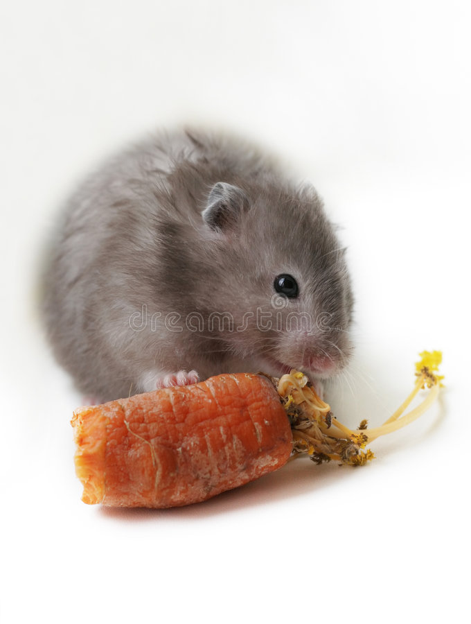 Hamster gris image stock