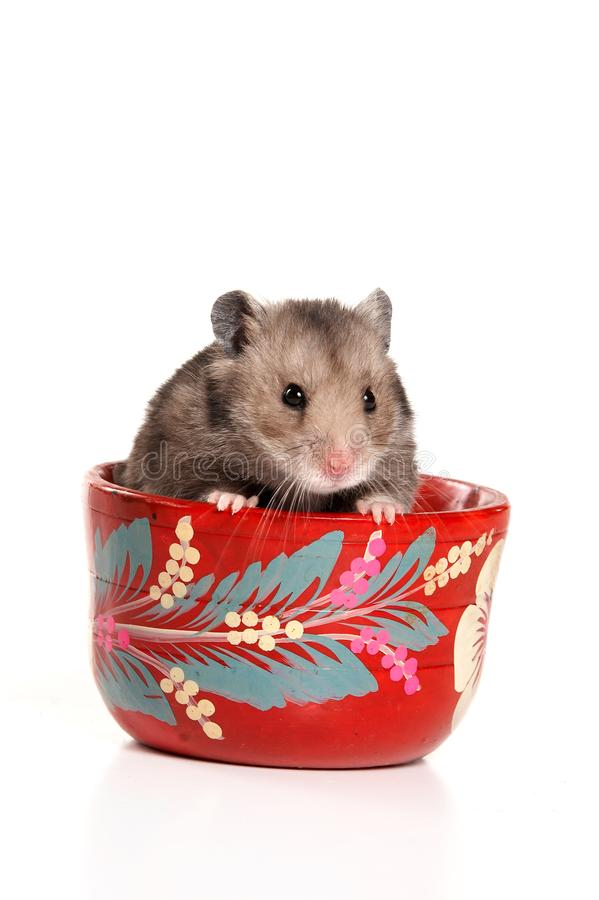 Hamster gris dans une tasse d'isolement photos stock