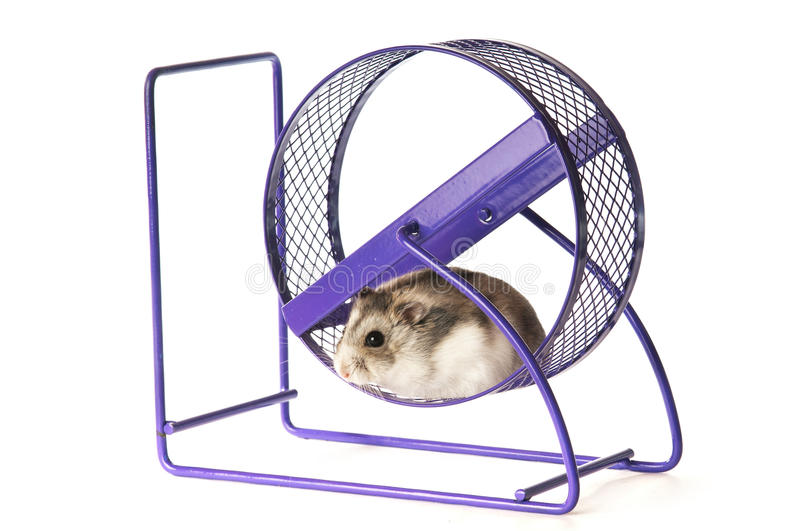Hamster in a hamster wheel royalty free stock image