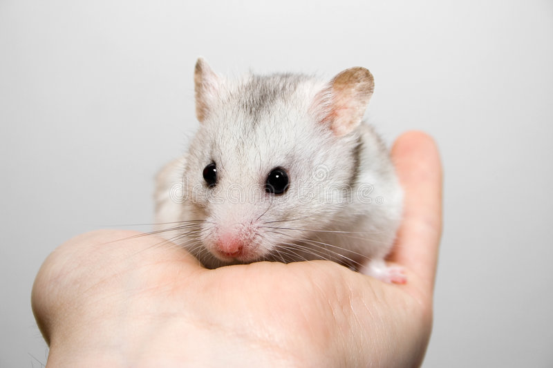 Download Hamster in hand stock photo. Image of hold, rodent, gray - 2143440