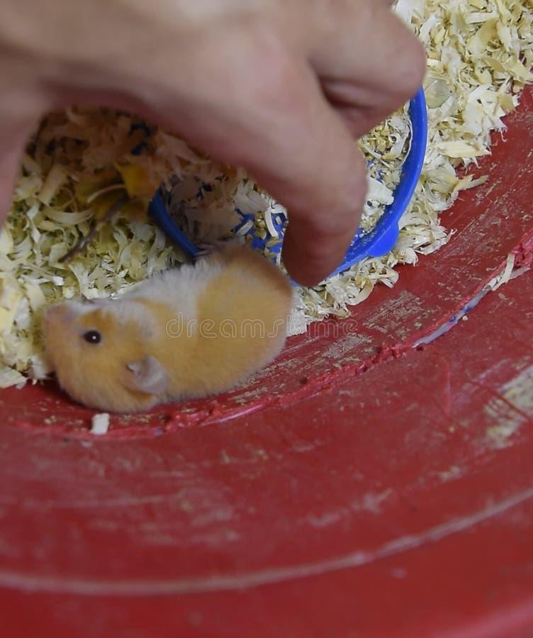 Hamster home in  in captivity. Hamster in sawdust. Red ha. Hamster home in keeping in captivity. Hamster in sawdust. Red hamster stock images