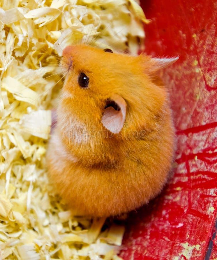 Hamster home in in captivity. Hamster in sawdust. Red hamster. Hamster home in keeping in captivity. Hamster in sawdust. Red hamster royalty free stock image