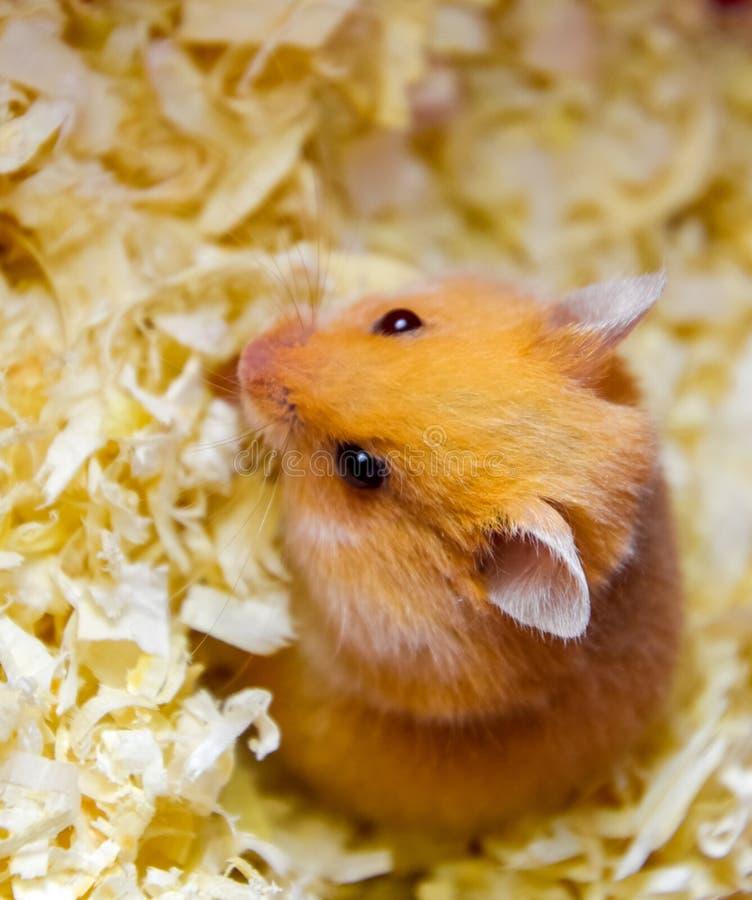 Hamster home in in captivity. Hamster in sawdust. Red hamster. Hamster home in keeping in captivity. Hamster in sawdust. Red hamster royalty free stock photo