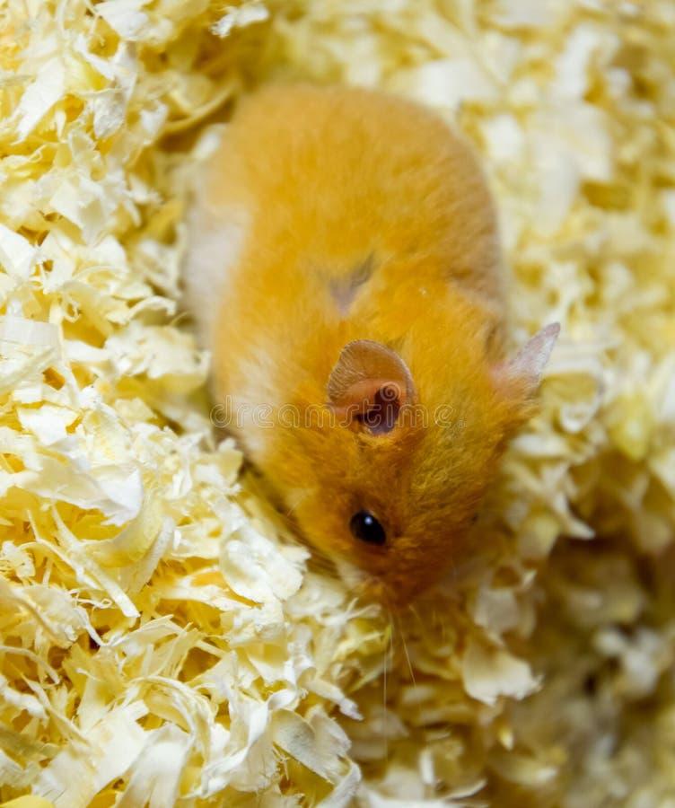 Hamster home in in captivity. Hamster in sawdust. Red hamster. Hamster home in keeping in captivity. Hamster in sawdust. Red hamster stock images