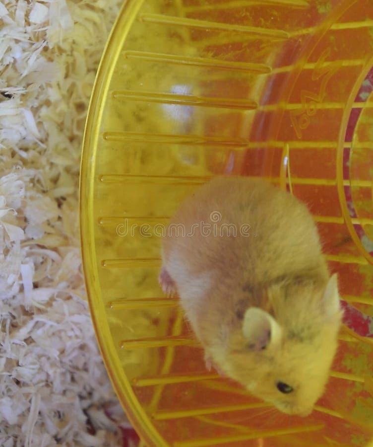 Hamster home in in captivity. Hamster running wheel. Red. Hamster home in keeping in captivity. Hamster running wheel. Red hamster stock images