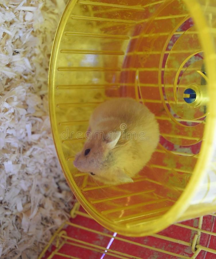 Hamster home in  in captivity. Hamster running wheel. Red. Hamster home in keeping in captivity. Hamster running wheel. Red hamster royalty free stock photo