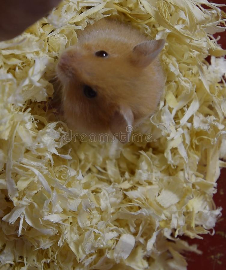 Hamster home in keeping in . Hamster in sawdust. Red ha. Hamster home in keeping in captivity. Hamster in sawdust. Red hamster stock image