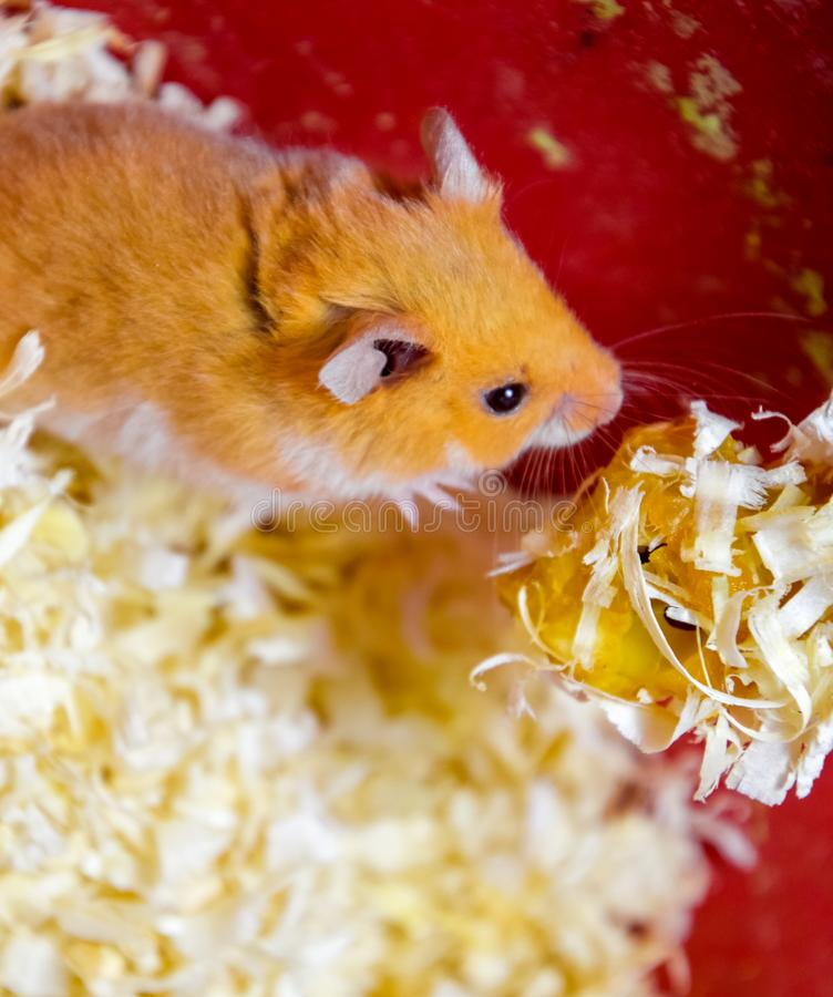 Hamster in keeping in captivity. Hamster in sawdust. Red hamster. Hamster home in keeping in captivity. Hamster in sawdust. Red hamster stock photography