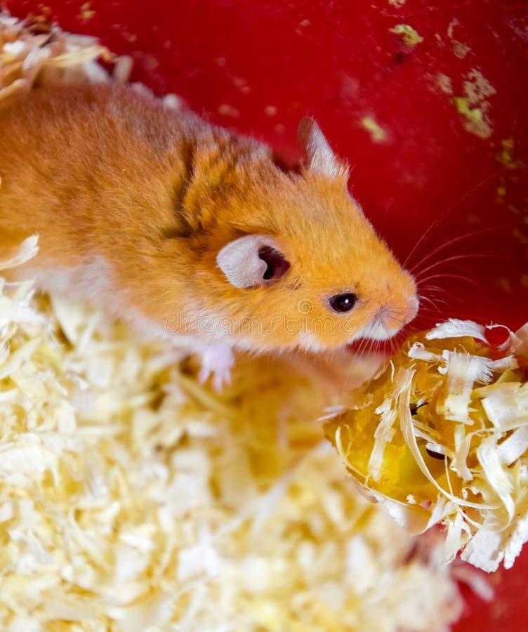 Hamster in keeping in captivity. Hamster in sawdust. Red hamster. Hamster home in keeping in captivity. Hamster in sawdust. Red hamster royalty free stock photos