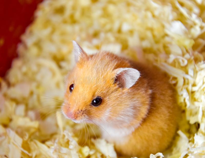 Hamster home in keeping in captivity. Hamster in sawdust. Red hamster stock photos