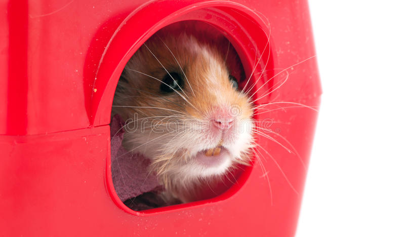 Hamster  Inside A Red Plastic Pets House Stock Photo