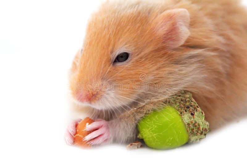 Download Hamster isolated stock image. Image of close, curious - 26546291