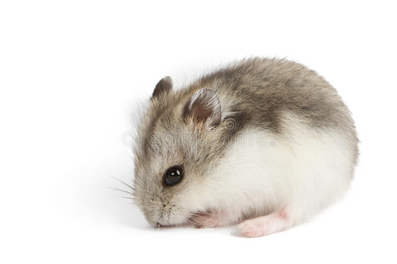 Hamster isolated on white royalty free stock image