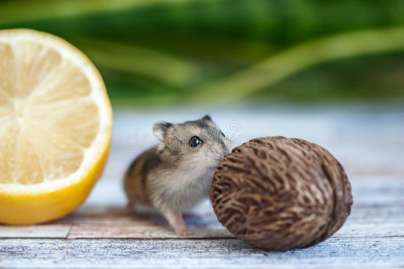 Hamster, junggar broodjes een noot, royalty-vrije stock afbeeldingen