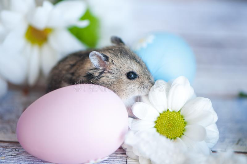 Hamster, junggar in the flowers of chamomiles and with Easter eg stock images