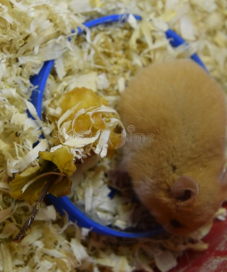 Hamster in keeping in captivity. Hamster in sawdust. Red ha. Hamster home in keeping in captivity. Hamster in sawdust. Red hamster royalty free stock photography