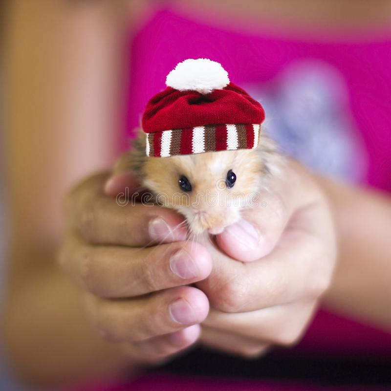 Hamster macio com o chapéu listrado feito malha com o pompon nas mãos da menina imagem de stock royalty free