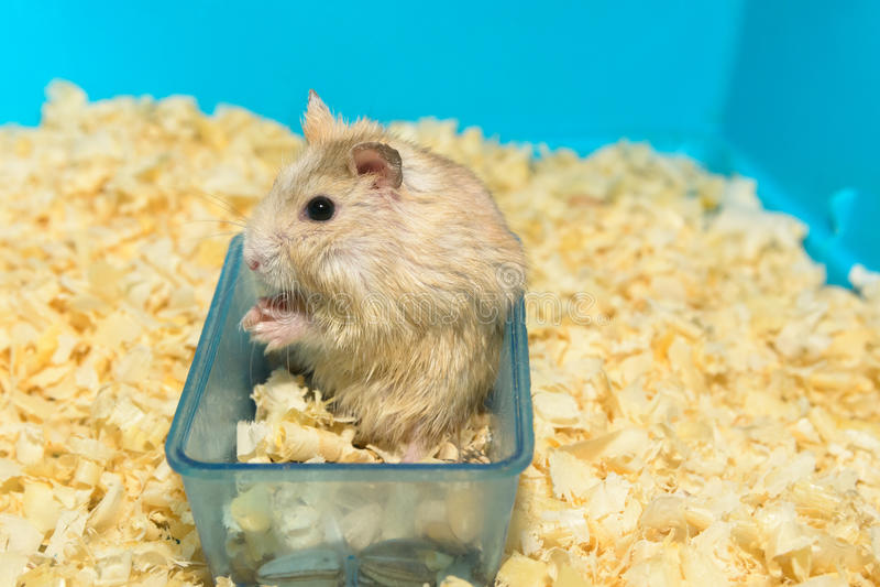 Hamster mangeant des graines de tournesol dans une boîte photographie stock