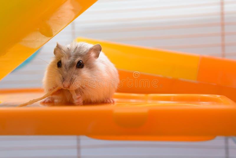 Hamster mangeant la sucrerie dans la maison si savoureuse photo libre de droits