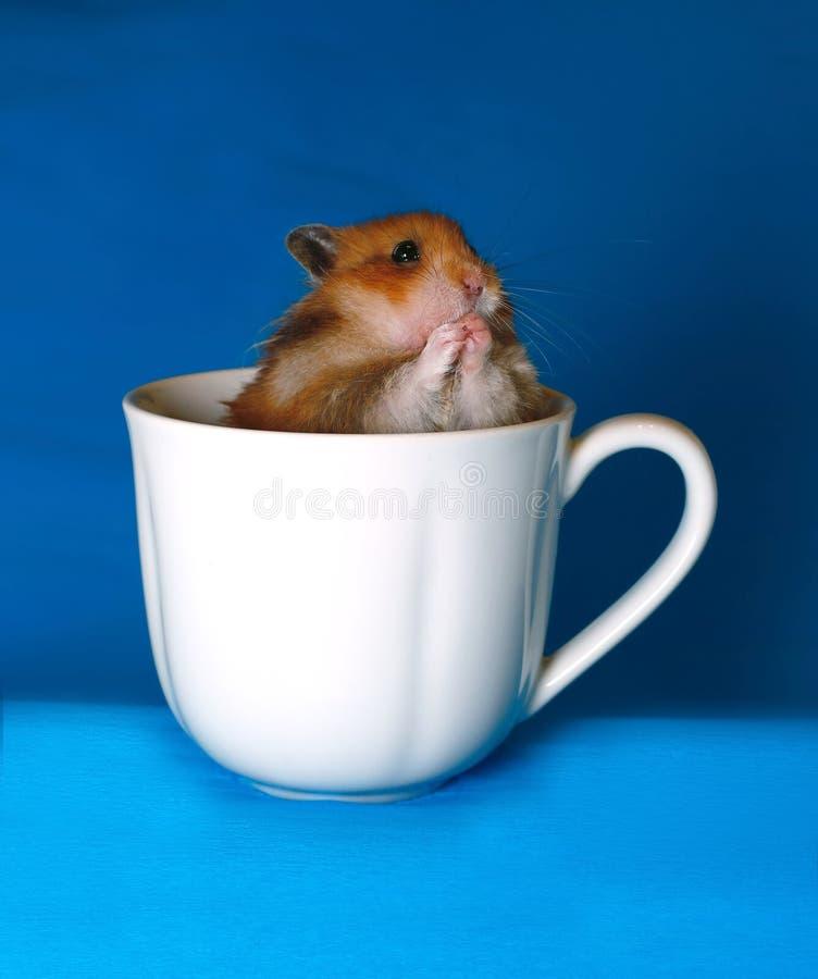 Hamster marrom bonito assustado em um copo branco da porcelana imagens de stock