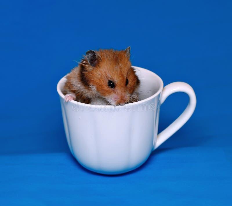 Hamster marrom bonito assustado em um copo branco da porcelana fotografia de stock