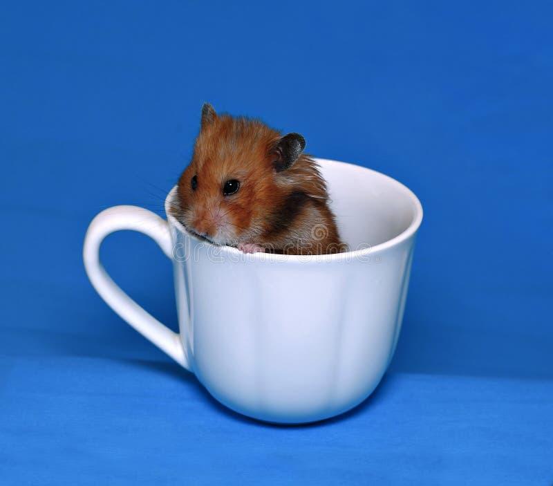 Hamster marrom bonito assustado em um copo branco da porcelana foto de stock royalty free