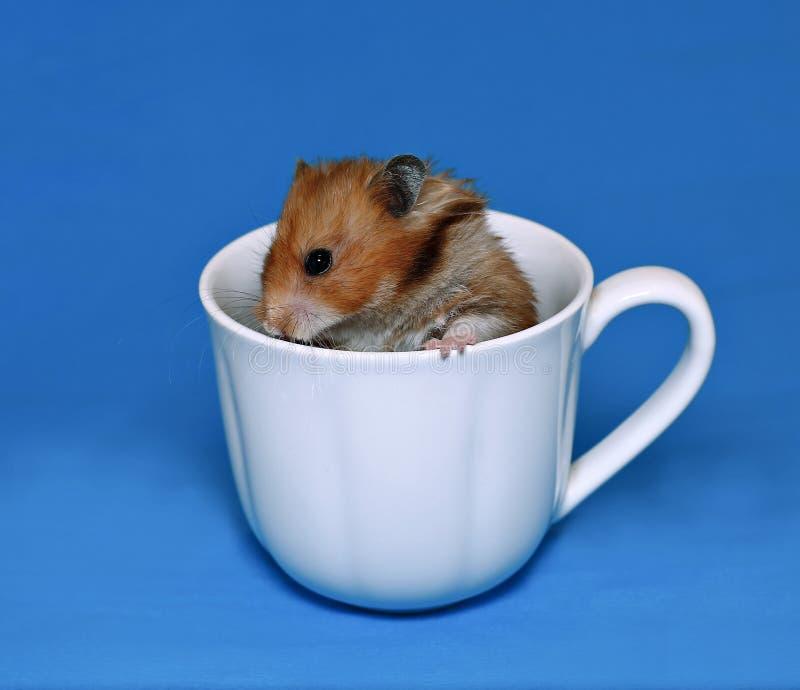 Hamster marrom bonito assustado em um copo branco da porcelana foto de stock