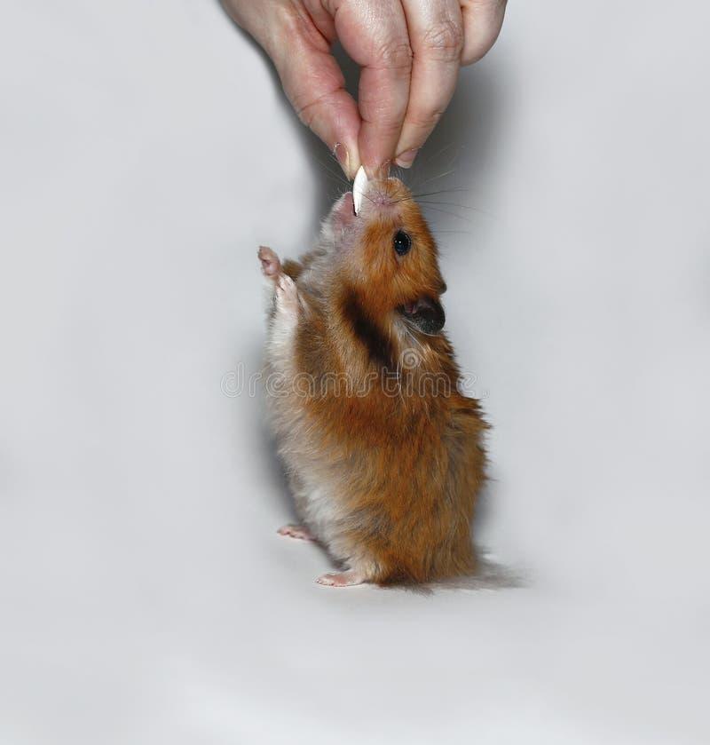 Hamster marrom feliz com semente de abóbora fotografia de stock royalty free