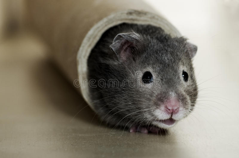 Hamster mignon photo stock