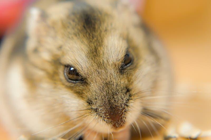 Hamster mignon de Djungarian photos libres de droits