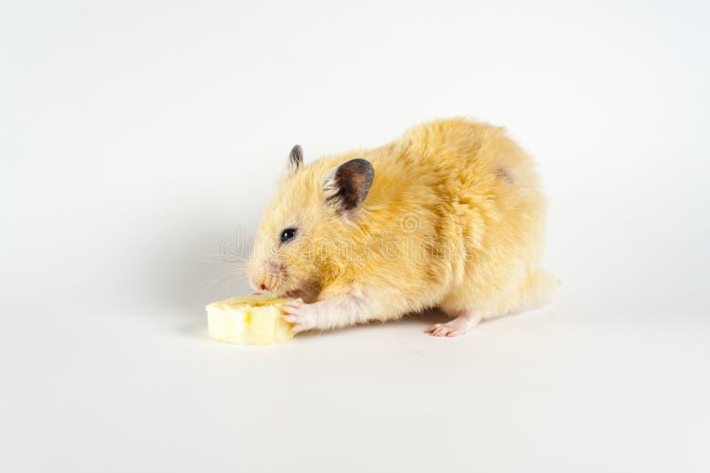 Hamster mignon mangeant la banane sur le fond blanc photographie stock