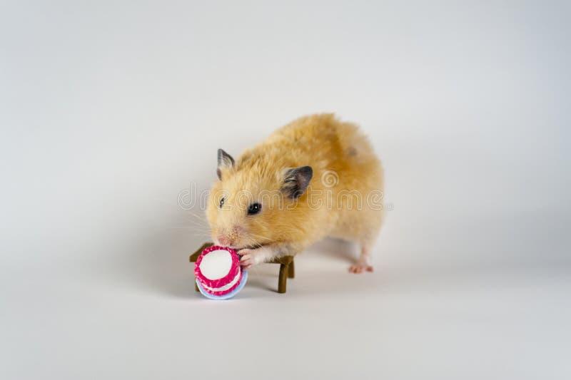 Hamster mignon mangeant le gâteau sur le fond blanc photographie stock libre de droits