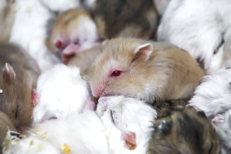 Hamster mignon, yeux rouges vivant avec des amis photo stock