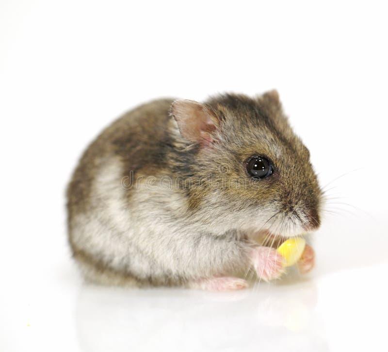 Hamster mit Mais lizenzfreie stockbilder