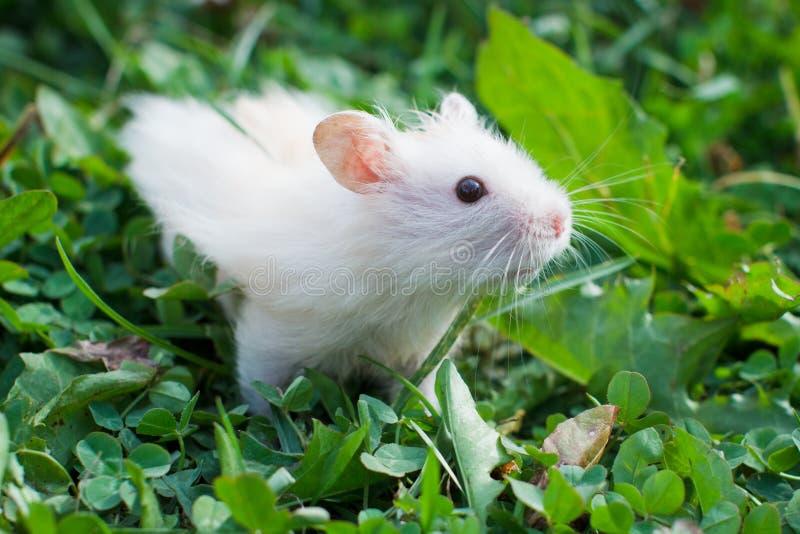Hamster na grama imagens de stock