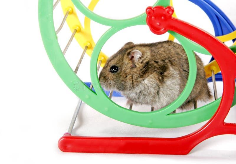 Hamster na roda fotos de stock