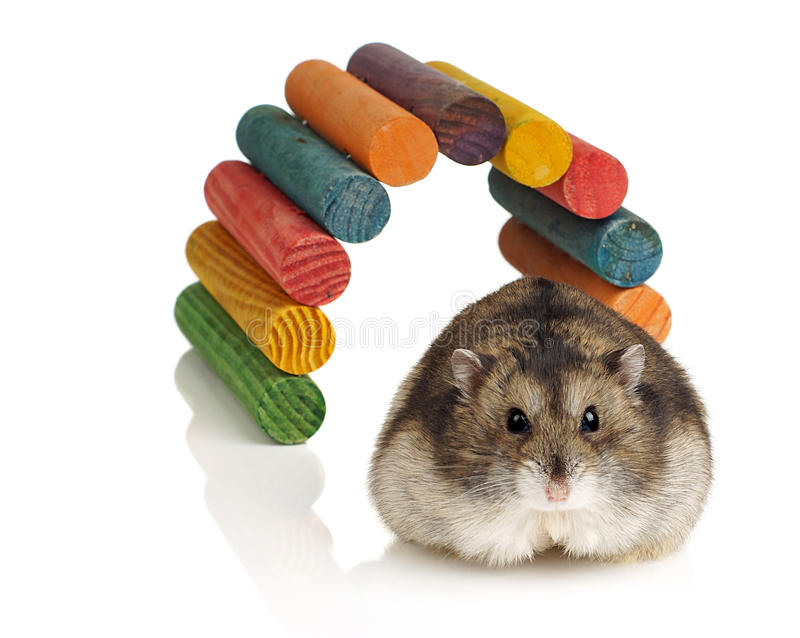 Hamster nain photos stock