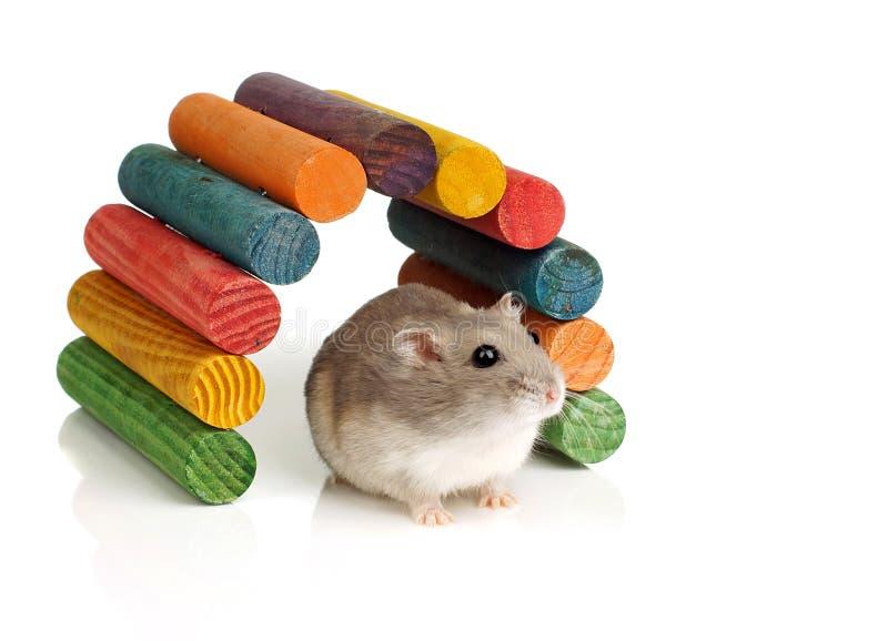 Hamster nain de blanc d'hiver images stock