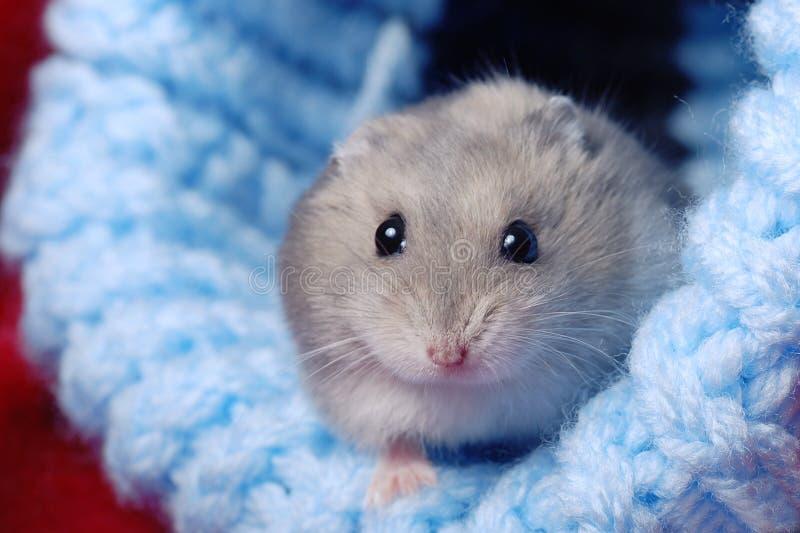 Hamster nain mignon photo stock