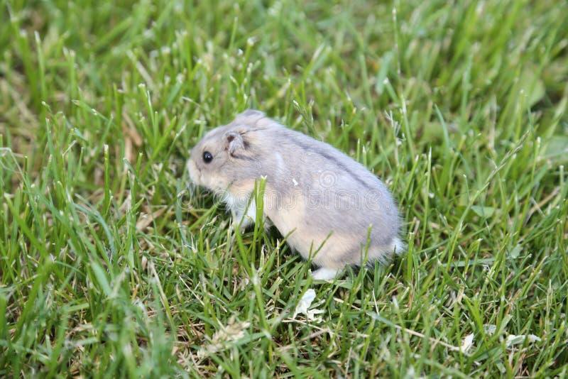 Hamster nain russe jouant dans l'herbe photo stock