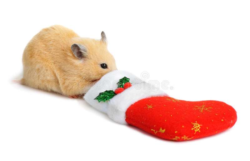 Hamster near christmas sock royalty free stock images