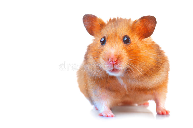 Hamster Nettes Haustier lokalisiert auf Weiß stockbild