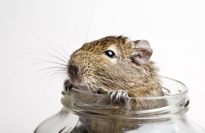 Hamster no frasco imagem de stock