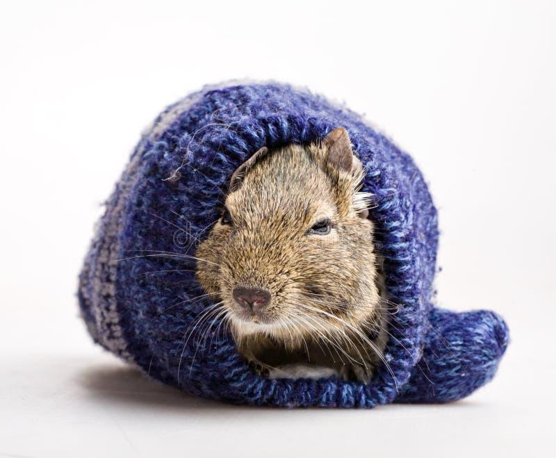 Hamster no mitene fotografia de stock royalty free